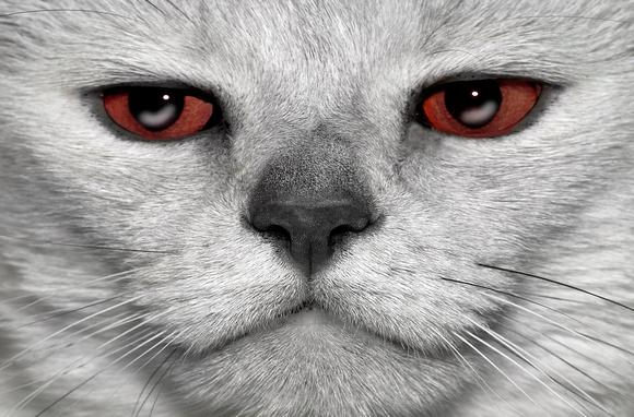 CAT 11848  PERSIAN CAT WITH RED EYES