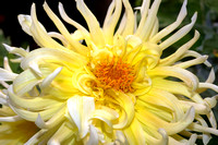 CAT 2031 D CD77  SPIDER DAHLIA