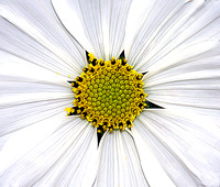1490CD53  WHITE COSMOS
